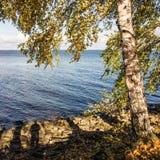 Abedul cerca del agua Imagen de archivo libre de regalías