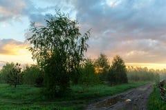 Abedul cerca del camino Fotos de archivo