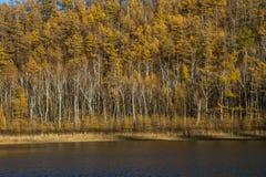 Abedul cerca del lago Fotos de archivo