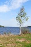 Abedul cerca del lago Foto de archivo