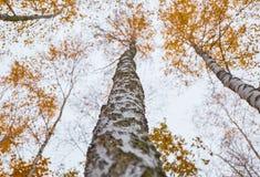 Abedul cercano para arriba con las hojas amarillas Foto de archivo