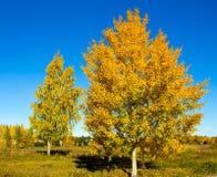 Abedul coloreado otoño brillante Imagenes de archivo