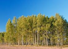 Abedul con el bosque y cielo azul en el fondo Imágenes de archivo libres de regalías
