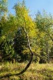 Abedul con el tronco curvado inusual en el bosque mezclado cerca de Moscú Fotografía de archivo libre de regalías