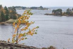 Abedul con follaje amarillo en la costa rocosa del lago. Fotos de archivo