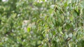 Abedul con las gotas de agua en las hojas después de la lluvia almacen de metraje de vídeo