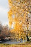 Abedul con las hojas amarillas Fotografía de archivo
