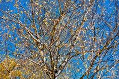 Abedul con las hojas amarillas Fotos de archivo