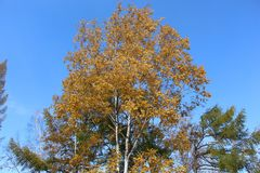 Abedul con las hojas de oro y alerce verde en un fondo del cielo azul/de árboles con follaje AG del otoño Fotografía de archivo libre de regalías