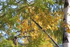 Abedul con las hojas de oro y alerce verde en un fondo del cielo azul/ Imágenes de archivo libres de regalías