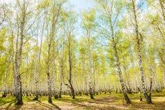 Abedul con las hojas del verde en bosque de la primavera Imagen de archivo libre de regalías