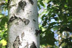 abedul con las hojas verdes Imagen de archivo