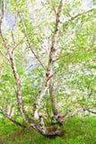 Abedul con las hojas verdes jovenes Fotografía de archivo libre de regalías