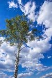 Abedul con las hojas verdes y el cielo agradable de la nube Imágenes de archivo libres de regalías