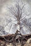 Abedul con las raíces Foto de archivo