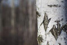 Abedul con los árboles borrosos en fondo Fotos de archivo libres de regalías