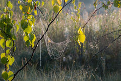 Abedul con los spiderwebs y el rocío de la mañana Imagen de archivo
