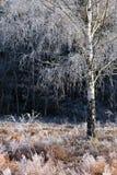 Abedul congelado Foto de archivo