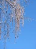 Abedul congelado en el fondo del azul de cielo Imágenes de archivo libres de regalías