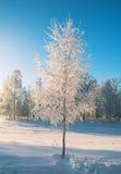 Abedul congelado invierno Fotografía de archivo libre de regalías