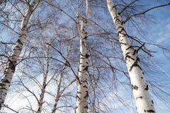 Abedul contra el cielo azul Fotografía de archivo