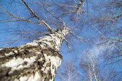 Abedul contra el cielo azul Fotos de archivo