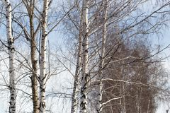 Abedul contra el cielo azul Fotos de archivo libres de regalías