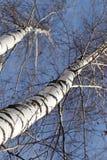 Abedul contra el cielo azul Imagen de archivo