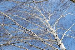 Abedul contra el cielo azul Imágenes de archivo libres de regalías