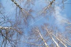 Abedul contra el cielo azul Foto de archivo