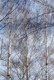 Abedul contra el cielo azul Imagen de archivo libre de regalías
