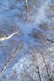 Abedul contra el cielo azul Imagenes de archivo