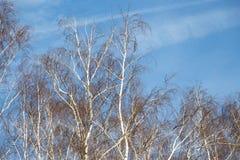 Abedul contra el cielo azul Fotografía de archivo libre de regalías