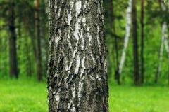 Abedul contra la perspectiva del bosque Foto de archivo