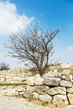 Abedul crimeo en la chufut-col rizada fortificada de la ciudad de la pared Foto de archivo libre de regalías