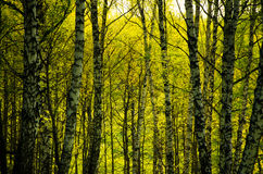 Abedul cubierto con follaje verde Imagenes de archivo