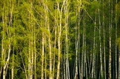 Abedul cubierto con follaje verde Foto de archivo libre de regalías