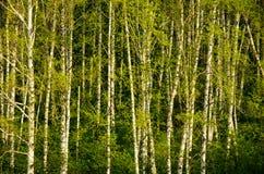 Abedul cubierto con follaje verde Fotografía de archivo libre de regalías
