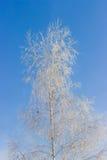 Abedul cubierto con helada en fondo del cielo azul Fotografía de archivo libre de regalías