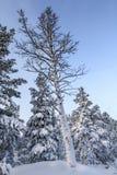 Abedul cubierto con nieve Fotografía de archivo libre de regalías