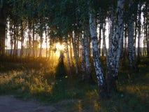 Abedul de la arboleda por la tarde Imagen de archivo libre de regalías