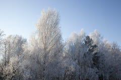 Abedul de la helada del invierno Fotografía de archivo libre de regalías