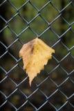 Abedul de la hoja del otoño en la cerca del enrejado Fotografía de archivo libre de regalías