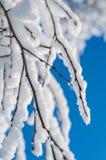 Abedul 2 de la nieve Imagen de archivo
