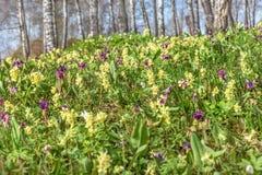 Abedul de la primavera del prado de las flores salvajes Imagenes de archivo