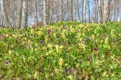 Abedul de la primavera del prado de las flores salvajes Imágenes de archivo libres de regalías