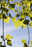 Abedul de la primavera de los árboles que se enciende detrás Imágenes de archivo libres de regalías