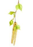 Abedul de la ramita del resorte con las hojas verdes Fotos de archivo