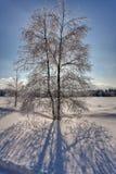 Abedul de la sombra del contraluz de la nieve del invierno, altos pantanos, Bélgica Imagen de archivo