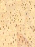 Abedul de la textura Imagen de archivo libre de regalías